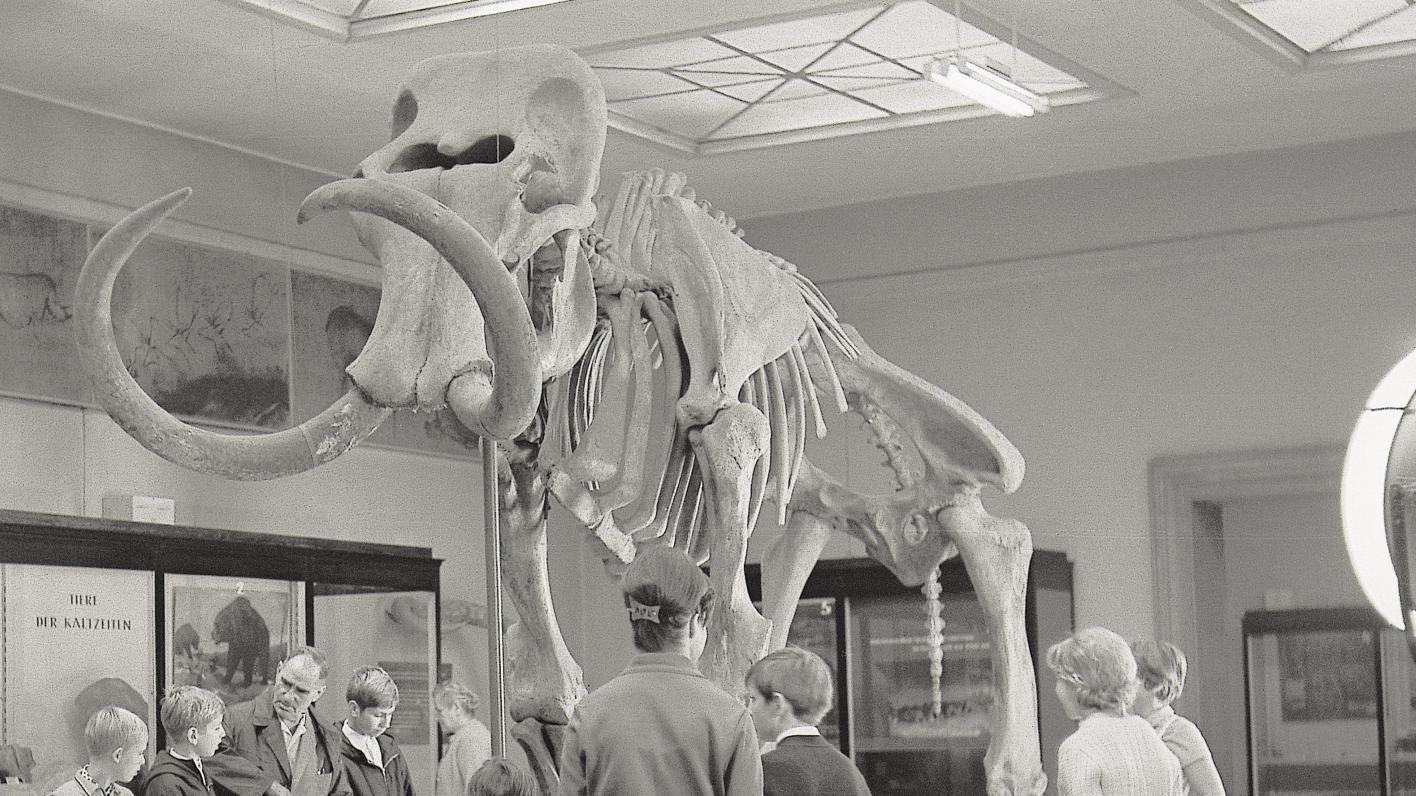 Das Mammut von Pfännerhall in der Dauerausstellung des Landesmuseums während der 1950er Jahre. © Landesamt für Denkmalpflege und Archäologie Sachsen-Anhalt, Lothar Bieler.